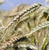 Ярова пшениця